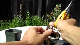 Watch Part 1 at http://youtu.be/YIGAsNAyhkYPart 2 shows the root prunning and the potting; which was relatively easy. But watering gets a little complicated due to the small size of the pot. But this plant is so cute that it it well worth the time. Check it out