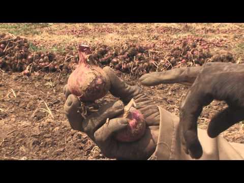Uvunaji wa Kitunguu (Post Harvest Management of Onions)