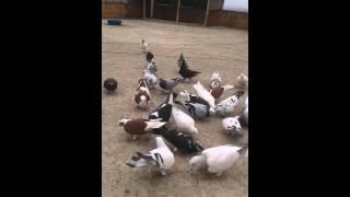 filo güvercinleri  hatayreyhanli