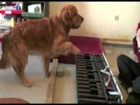 il cane che suona il pianoforte!
