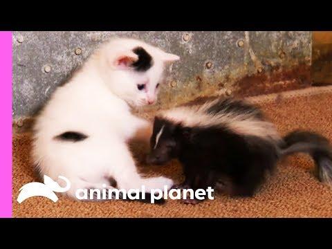 Mother Cat Adopts a Tiny Skunk