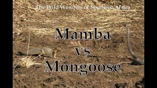 Mamba vs Mongoose