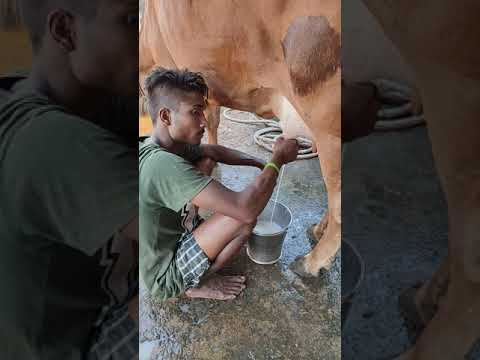 Cow Milking By Worker in Indian Dairy Farm | How To Milk A Cow 🐮