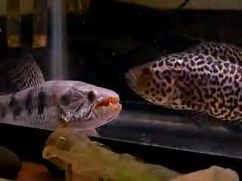cichlid - Wolffish(Hoplias malabaricus) vs Jaguar Cichlid(Parachromis managuensis) Note: the jaguar is no longer in the same tank.