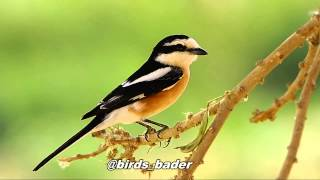 Video Masked Shrike & صرد مقنع & birds MP3, 3GP, MP4, WEBM, AVI, FLV Agustus 2018