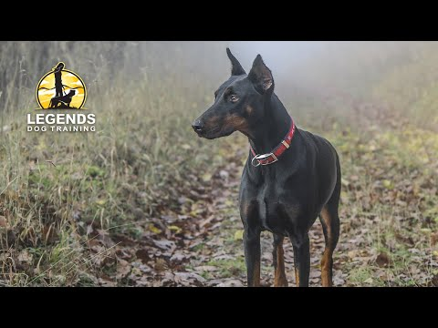 doberman perfect training!