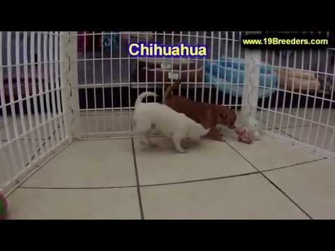 Chihuahua, Puppies, For, Sale, In, Baton Rouge, Louisiana, LA, Minden ...