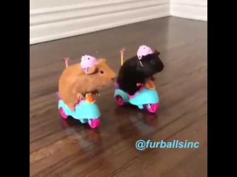 Guinea Pigs Driving Scooters / Tricycles | Funny Video {these Are NOT MY GUINEA PIGS}
