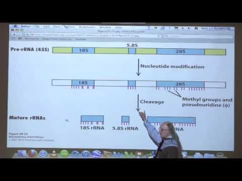 Kevin Ahern's Bite-Sized Biochemistry #46 – Transcription II (RNA Synthesis)