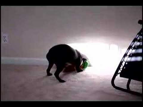Boston Terrier with stuffed animal