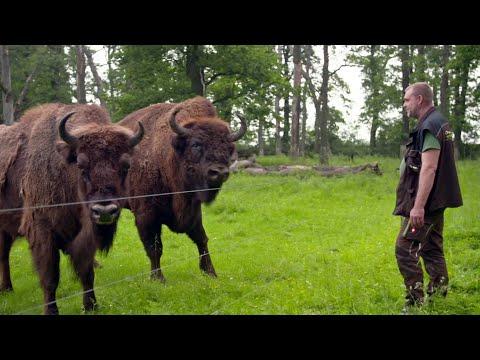 Streit um wilde Wisente: Zerstören Ur-Rinder den Wald? ...