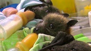 Bat Orphans - Whoever Said Bats Aren't Adorable?