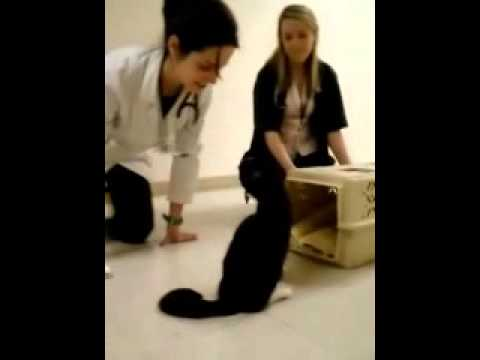 Severus the cat undergoes a second tensilon test at CSU Veterinary Hospital