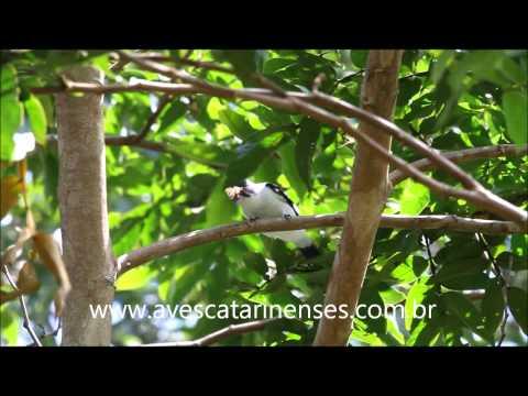 Anambé-branco-de-bochecha-parda - Cristiano Voitina