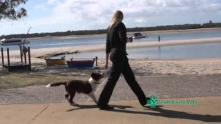 How to Teach your Puppy to Walk on a Lead