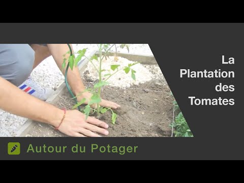 La plantation des tomates