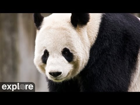Live-Cam: Bambusbären im Shenshuping Gengda Panda Center (China)