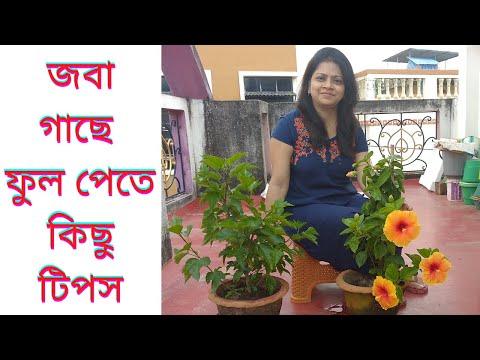 জবা গাছে ফুল পেতে কিছু টিপস/Jaba gache phool pete ki ki karanio/How to get Hibiscus flowers