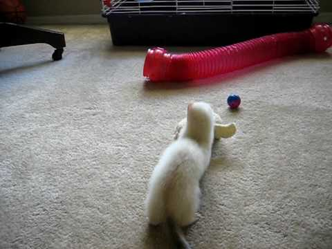 Ferret Playing with Stuffed Toy