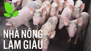 Nhà nông làm giàu | Cách phòng trị bệnh suyễn ghép viêm phổi màng phổi ở lợn