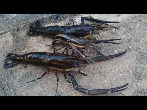 34 - Pescaria de PITU com ARMADILHA ARTESANAL (Fish trap)