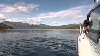 Marlborough Sounds New Zealand  city pictures gallery : Swimming with Dolphins in the Marlborough Sounds, New Zealand