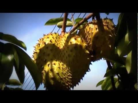 Sour Sop-cancer cure vs parkinson scare tussle?
