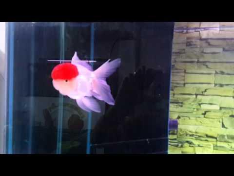 ปลาทอง ตันโจ