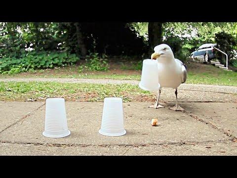 Чайка обыграла человека в наперстки