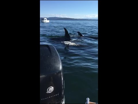 Seal Jumps Into Boat To Escape Orcas