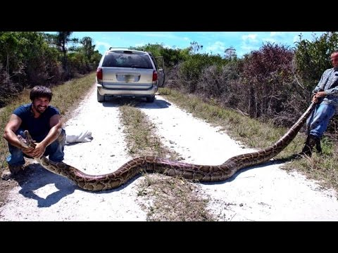 Python hunters take on Florida Everglades' snake problem