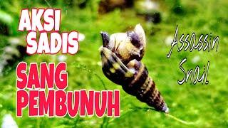 Download Video CARA BASMI HAMA KEONG DI AQUARIUM DENGAN KEONG ASSASSIN MP3 3GP MP4