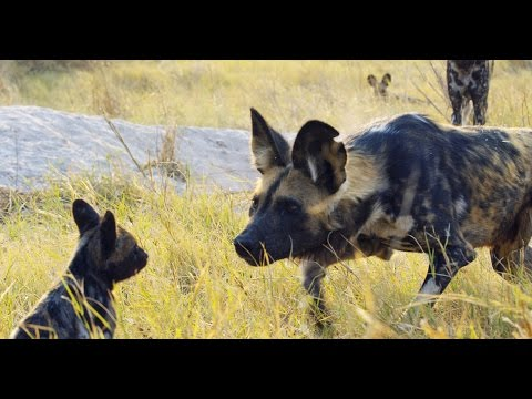 Robot puppy spies on African wild dogs