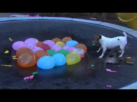 跳到彈簧床上後,狗狗馬上就對水球們大開殺戒!