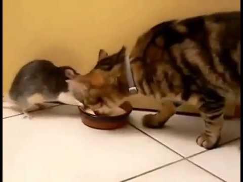 сонник котенок ловит крысу