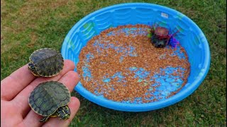 Video Rescued BABY TURTLES get their  DREAM HOME!! MP3, 3GP, MP4, WEBM, AVI, FLV Juni 2019
