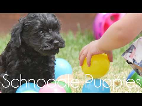 Very Cute Schnoodles