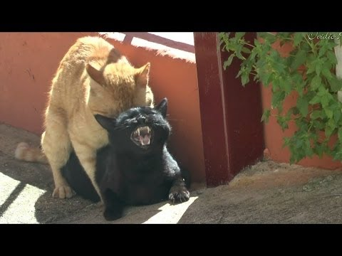 apareandose - La reaccíon de las gatas al hacer el amor es impresionante.Vean..y, escuchen...,