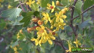 Die wunderschönen Blüten der Vierbeere Orangesse