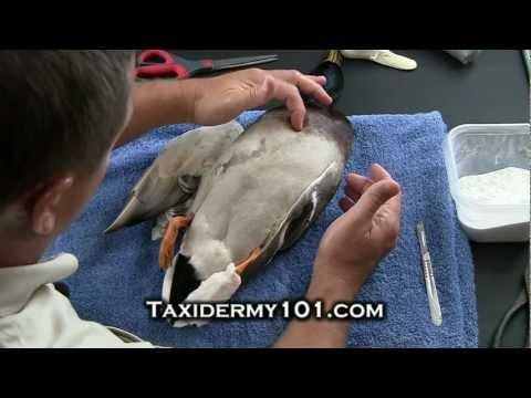 How to Taxidermy – Bird Taxidermy – Taxidermy Videos