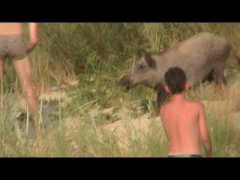 Turysta pogryziony przez dzika - Tourist bitten by boar