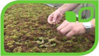 Torfabbau: Die Bulttorfmoose- Mutterpflanzen Teil 13