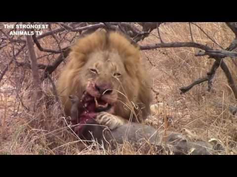 Video Male Lion Kill Warthog In Masai Marai download in MP3, 3GP, MP4, WEBM, AVI, FLV January 2017