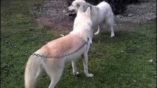 Download Video White wolf meets dog MP3 3GP MP4