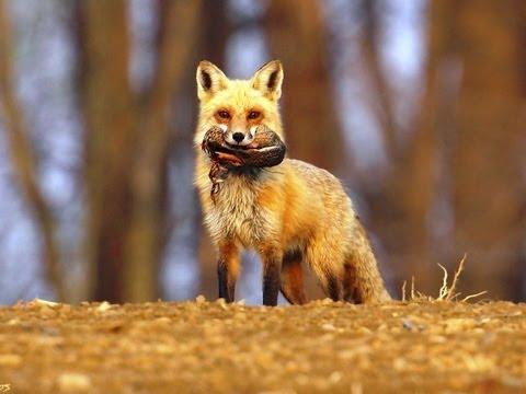#563. Лисицы (В мире животных) (видео)