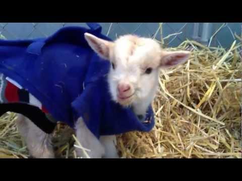 0 Baby Goat Talks