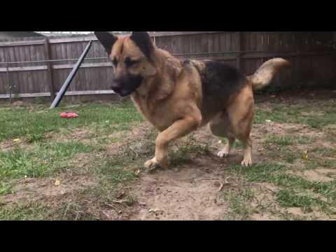 Koira ja kettu ovat parhaat kaverit – Katso riehakas leikki