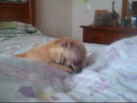 My Funny Chihuahua Going Crazy video