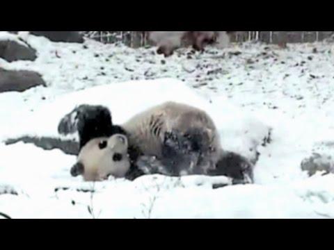 il panda maggiore che gioca con la neve