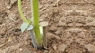Video Place 2 Nails Beside Your Plants And See What Happens MP3, 3GP, MP4, WEBM, AVI, FLV Juli 2018